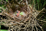 Newly Hatched Cardinals