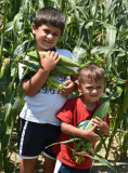 Picking sweet corn on my brothers farm