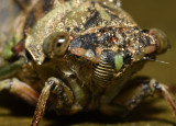Business end of a Cicada