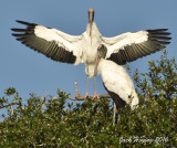 Wood Storks sunning in the morning