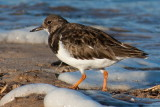 turnstone - Arenaria interpres on Bridlington beach.jpg