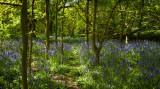 Burton Bushes, Beverley Westwood Bushes bluebells IMG_1351.jpg