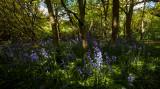 Burton Bushes, Beverley Westwood Bushes bluebells IMG_1362.jpg