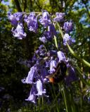 Burton Bushes, Beverley Westwood Bushes bluebells IMG_1370.jpg