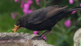 Blackbird gathering mealworms IMG_1384.jpg