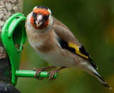 Goldfinch IMG_1064.jpg