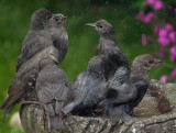 Young Starlings IMG_1425.jpg