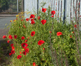 Poppies IMG_1506.jpg