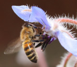 Bee on Borage IMG_3015.jpg