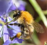 Honeybee IMG_3859.jpg