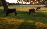 cows at dusk IMG_4731.jpg