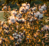 Westwood flora IMG_4734.jpg