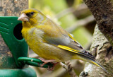 Greenfinch IMG_0770.jpg