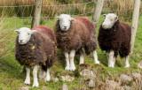 Cute sheep at Buttermere IMG_1389.jpg