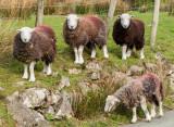 Cute sheep at Buttermere IMG_1390.jpg