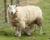 Sheep and lamb IMG_1395.jpg