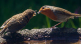 Robin feeding seed to chick IMG_1286.jpg