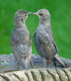 Young Starlings IMG_1657.jpg