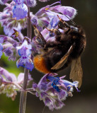 Bee on Lavender IMG_2044.jpg