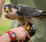 Peregrine Falcon IMG_3008.jpg