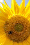 Sunflower IMG_3895.jpg