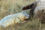 Donna Nook - Grey Seals IMG_6825.jpg