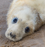 Donna Nook - Grey Seals IMG_6853.jpg