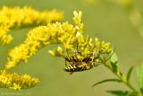 Locust Borers