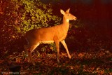 Doe at Sunrise