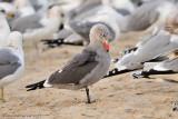 Gulls, Terns, Pelagics & Skimmers