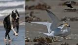 Least Tern - breeding - disturbance factors - loose dogs