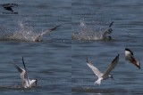 Royal Tern plunge-dive into school of fish - double catch