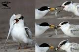Least Tern - feeding young - UTC - Spring 2013