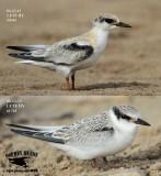 Least Tern - Fledglings - UTC - Spring 2013