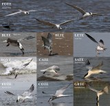 Terns - foraging - surface dipping