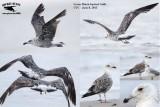 Summering Lesser Black-backed Gulls: UTC - June-July 2013 - examples
