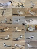 Least Tern - growth and plumages during first year of life
