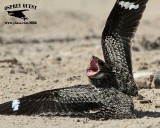 Common Nighthawk attacked by Least Tern