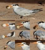 Royal Tern manipulating and swallowing tetraodontiform