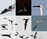 Playing with the wind; incredible aerial acrobats: terns and skimmers