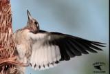 Red-headed Woodpecker - Quintana - UTC -October 20, 2013