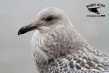 Ruff Gull