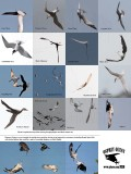 Least, Forster's, Gull-billed, Caspian, Royal and Black Tern, Black Skimmer, Osprey and other birds flying upside-down