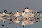Fun with Texas Terns during winter - how many species can you see? (quiz)