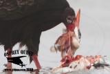 Turkey Vulture feeding on Caspian Tern and American Herring Gull carcasses