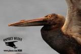 American White Pelican - birds oiled during Galveston Bay oil spill