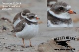 Semipalmated Plover with orange bill - December 20, 2014