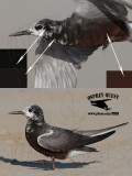 Black Tern with brown belly