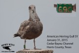 American Herring Gull - green alphanumeric band # 69C