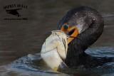 Double-crested Cormorant killing large catfish